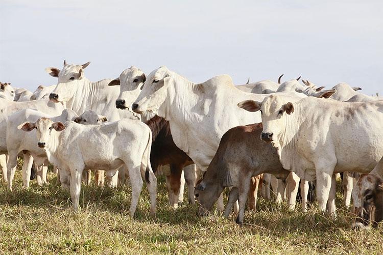 A importância e benefícios da rastreabilidade bovina na gestão de frigorífico